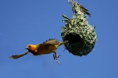Cape Weaver leaving nest Stock Images