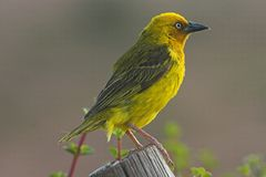 Cape Weaver Male Royalty Free Stock Image