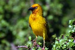 Cape Weaver Male Royalty Free Stock Images