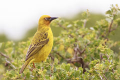 Cape Weaver. Male Cape weaver Ploceus capensis perched on a branch Royalty Free Stock Images