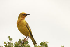 Cape Weaver. Male Cape weaver Ploceus capensis perched on a branch Royalty Free Stock Image