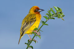 Cape weaver. Male Cape weaver (Ploceus capensis) perched on a branch against a blue sky, South Africa Royalty Free Stock Images