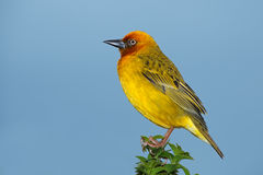 Cape weaver. Male Cape weaver (Ploceus capensis) perched on a branch against a blue sky, South Africa Stock Image