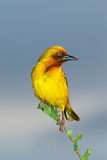 Cape weaver Stock Image