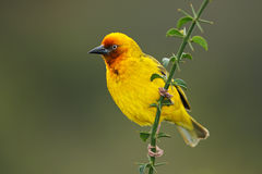 Cape weaver Stock Photography