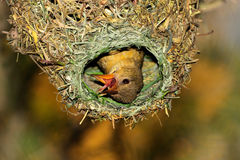 Cape weaver in nest. Female Cape weaver (Ploceus capensis) in her nest, South Africa stock images