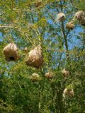 Cape Weaver Nest Stock Images