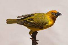 Cape Weaver. Perched against twig; Ploceus capensis royalty free stock images