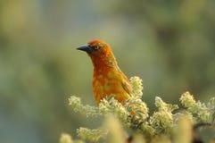 Free Cape Weaver (Ploceus Capensis) Stock Photos - 5308013