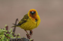 Cape Weaver (Ploceus capensis) Royalty Free Stock Photography