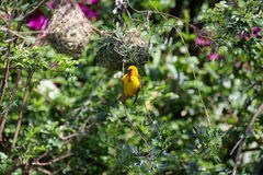 Cape Weaver (Ploceus capensis) Royalty Free Stock Image