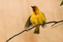 Cape Weaver, Ploceus capensis Royalty Free Stock Photography