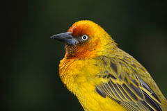 Cape weaver portrait Stock Photo