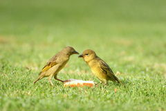 Cape Weavers. The mother was feeding the youngster. They were on the lawn at a holiday resort Royalty Free Stock Images