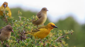 Cape Weavers. Cape weaver Ploceus capensis perched in a tree Royalty Free Stock Photo