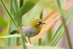 Cape White-Eye Stock Photo