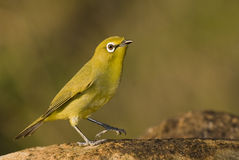 Cape white eye Stock Image
