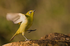 Cape White eye. With lots of detail against a nice background stock photo