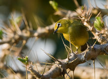 Cape white eye Royalty Free Stock Images
