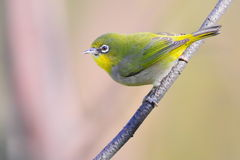 Cape White-eye Stock Photos