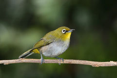 Cape white-eye Stock Image