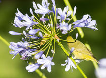 Cape White-eye and agapanthus Royalty Free Stock Photo