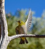 Cape White-eye Royalty Free Stock Photos