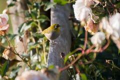 Cape White-Eye bird. Cape White-Eye small bird royalty free stock images