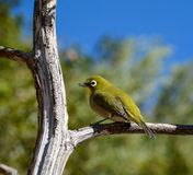 Cape White-eye Royalty Free Stock Images