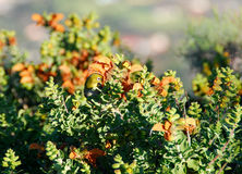 Cape White eye on fynbos. Royalty Free Stock Photography