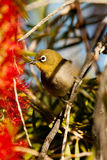 Cape White-eye Stock Images