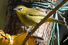 Cape White-eye (Zosterops pallidus) Stock Photos
