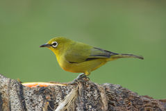 Cape white-eye zosterops virens. Cape white-eye adult male Royalty Free Stock Photography
