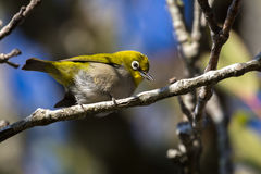 Cape white-eye, Zosterops virens Stock Photos