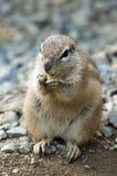 cape wiewiórka naziemna Zdjęcia Stock