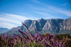 Cape Wine Lands Royalty Free Stock Photo