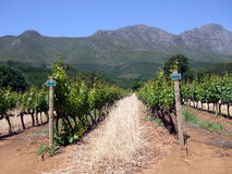 Cape Winelands. Rows of vines in the Cape winelands, Cape Town, South Africa Royalty Free Stock Photography
