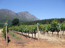 Cape Winelands. Rows of vines in the Cape winelands, Cape Town, South Africa stock photo