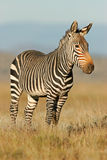 cape zebra mountain Fotografia Royalty Free