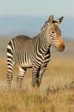 cape zebra mountain Fotografia Royalty Free