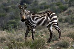 cape zebra mountain Obrazy Stock