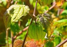 Capegooseberry drzewo Zdjęcia Stock