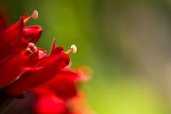 Capel of red flower in garden. Carpel of red flower in the garden Royalty Free Stock Photography