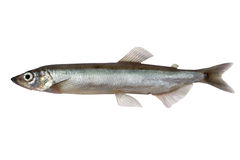 Capelin Stock Photos