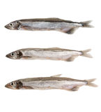 Capelin fish isolated Royalty Free Stock Photos
