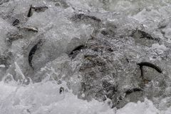 Capelin rolling in on wave, Newfoundland