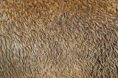 Capelli del bisonte di struttura della pelliccia vecchi Fotografie Stock