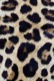 Capelli del leopardo del primo piano Immagini Stock