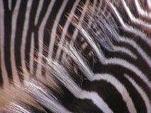 Capelli della zebra con luce solare Fotografia Stock Libera da Diritti