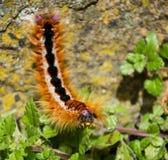 Capensis Caterpillar de Eutricha Foto de archivo libre de regalías